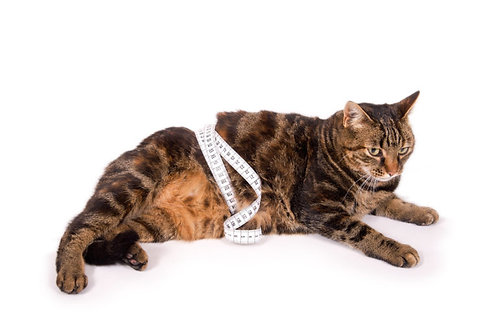 Reduktionsdiät Katze