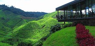 Tea farms Cameron HIghlands