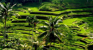 Rice Farms, Bali