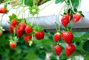 Strawberry Farms Cameron Highlands