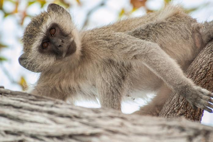vervet-monkey-4676801.jpg