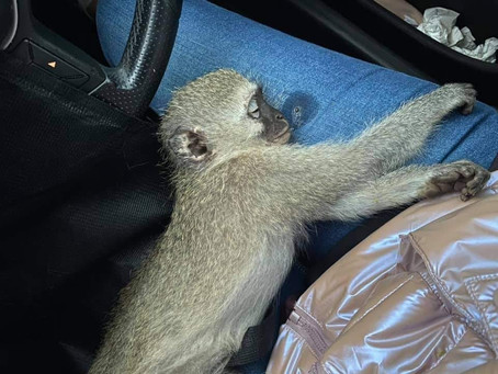 How to treat a monkey that's been hit by a car