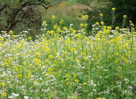 Artemisia annu – Malaria-Medikament gegen Viren?