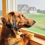 Dachshund with separation anxiety 962644