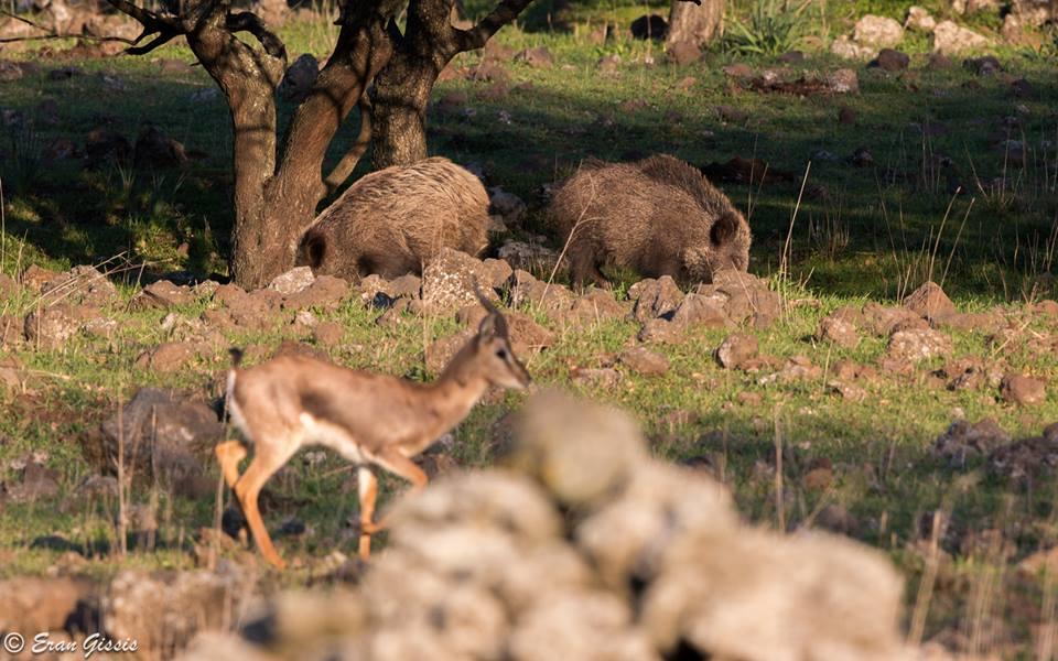 צבי על רקע חזירי בר ביער אודם-ערן גיסיס