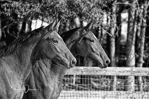 black and white two mares