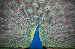 Peacock feathers wedding