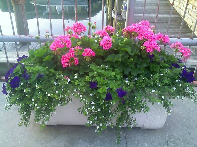 Geraniums, Petunia Bacopa Mix