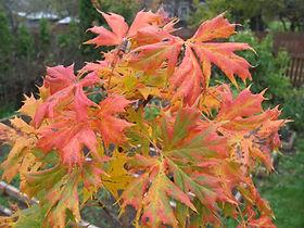 Acer platanoides 'Lorbergii'.jpg