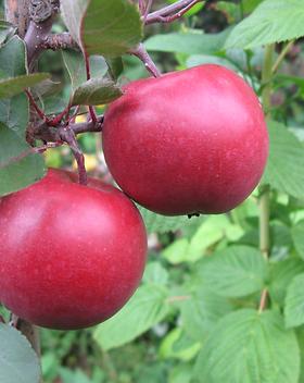 Red Katty плоды.png