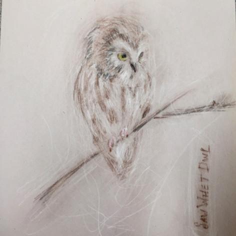 Saw Whet Owl, II