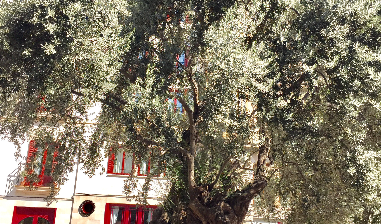 Old Olive Tree, Mallorca