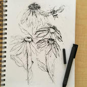 Charcoal Echinacea