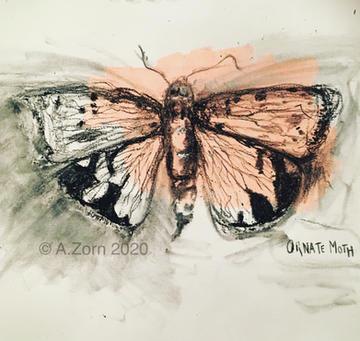 Ornate Moth