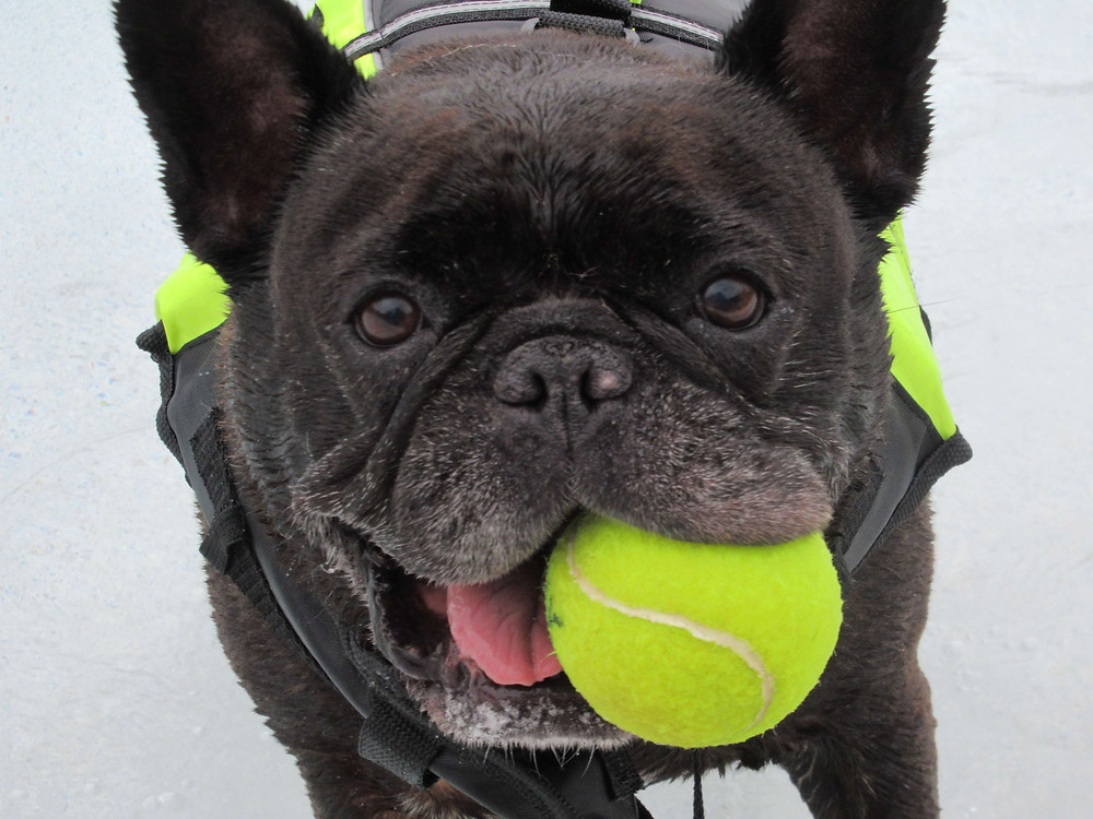 black pug with yellow ball in mouth looking right at the camera