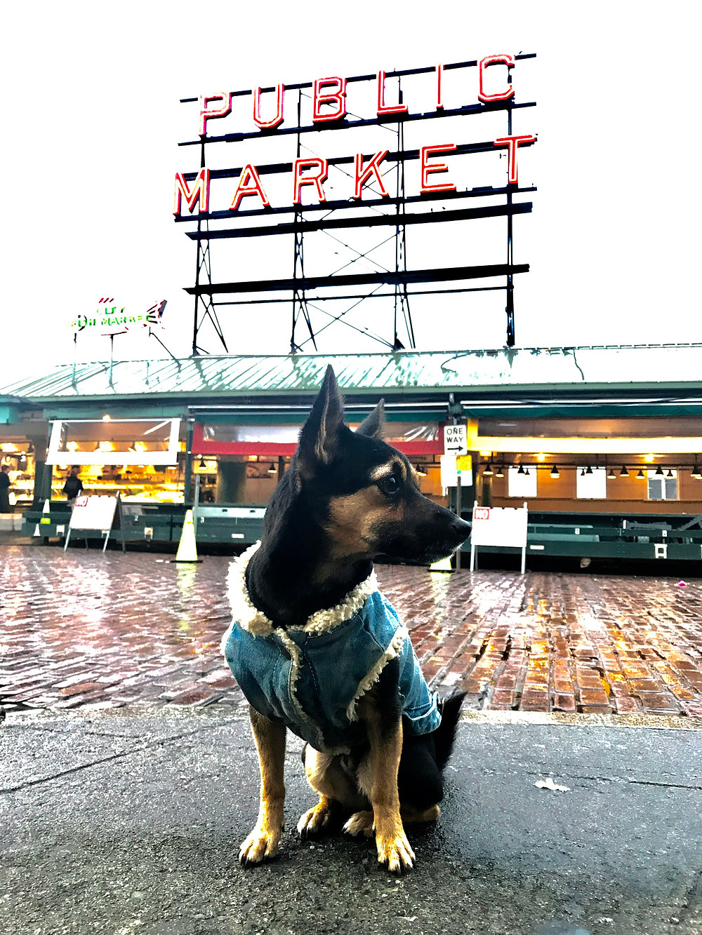 Chihuahua Mix, Lincoln, in front of the PIke's Place sign