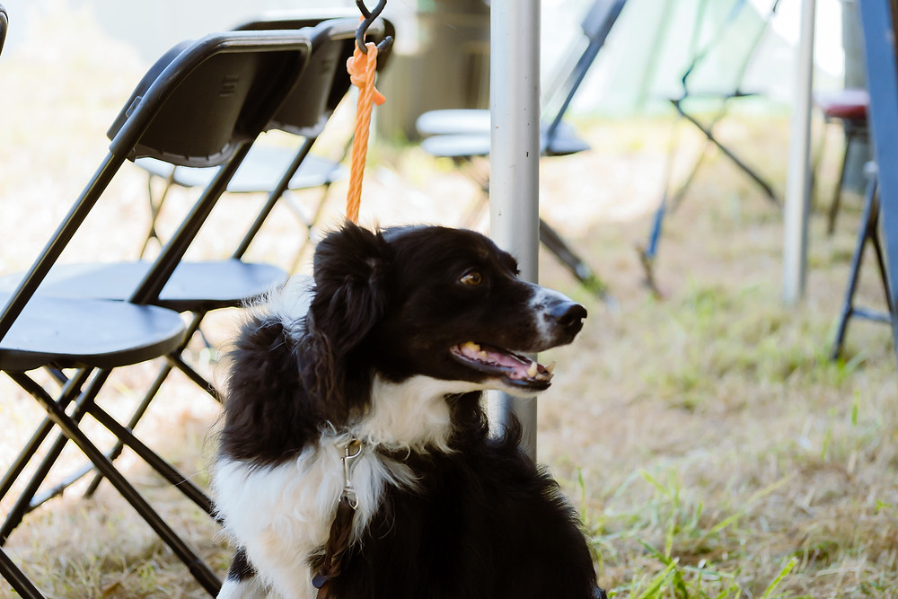 boarder collie waiting in shade under tent