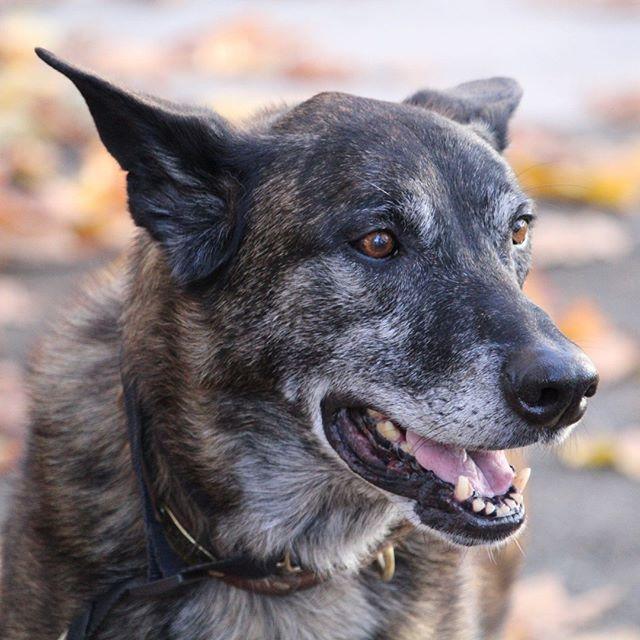 Grey-muzzled cattledog