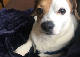Pickle Needs Your Help to Find His Way Home!  LOST DOG (Seattle)