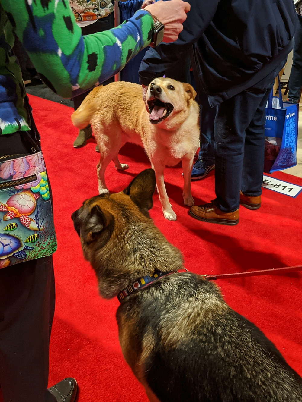Buddy, golden color Husky Shepard mix at boat show walking on red carpet