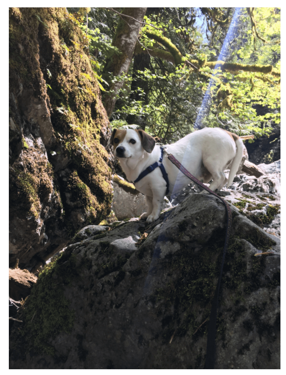 Jack Russel Terrier outside on rocks
