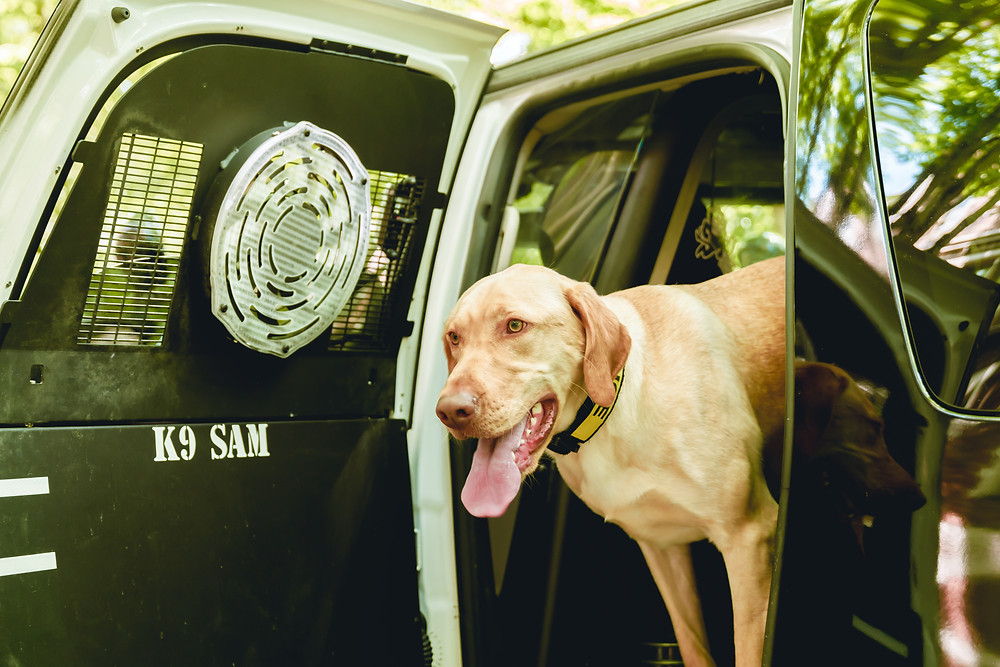 Golden Retriever K9 Sam in K9 Police Car
