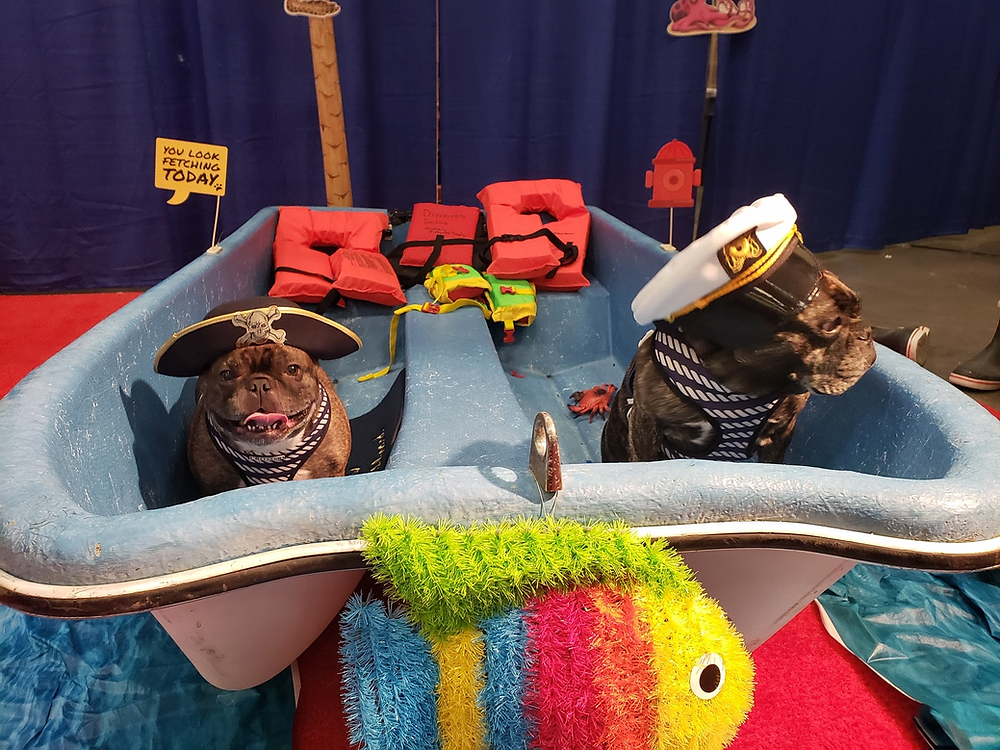 French Bulldogs in dingy with pirate hat and captains hat on