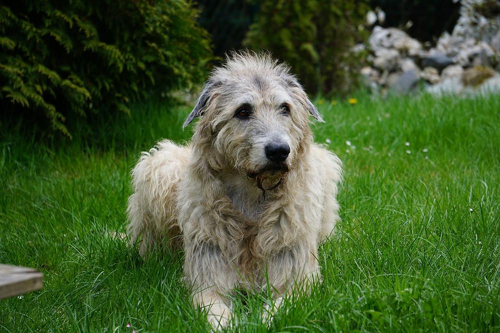 Wolfhound sitting in grass