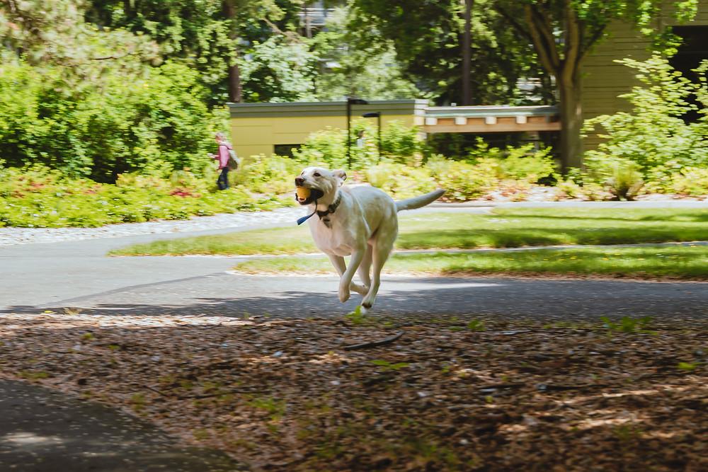Golden Retriever Running with Ball K9 Murphy
