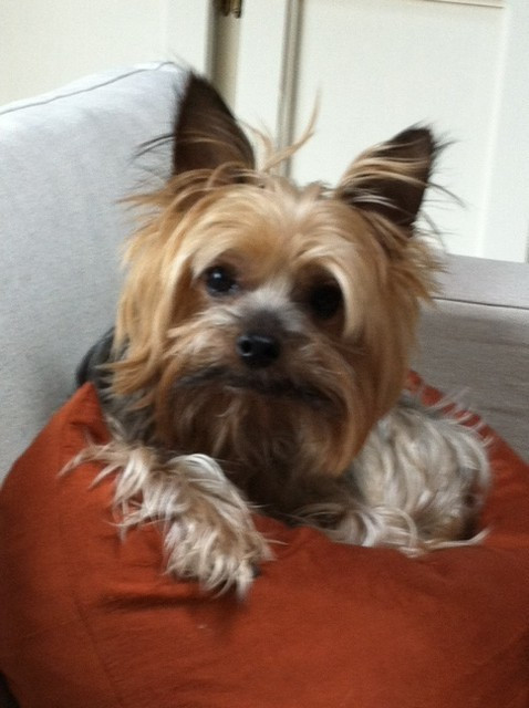 Roxie. Yorkie Seattle Pup of the Week!