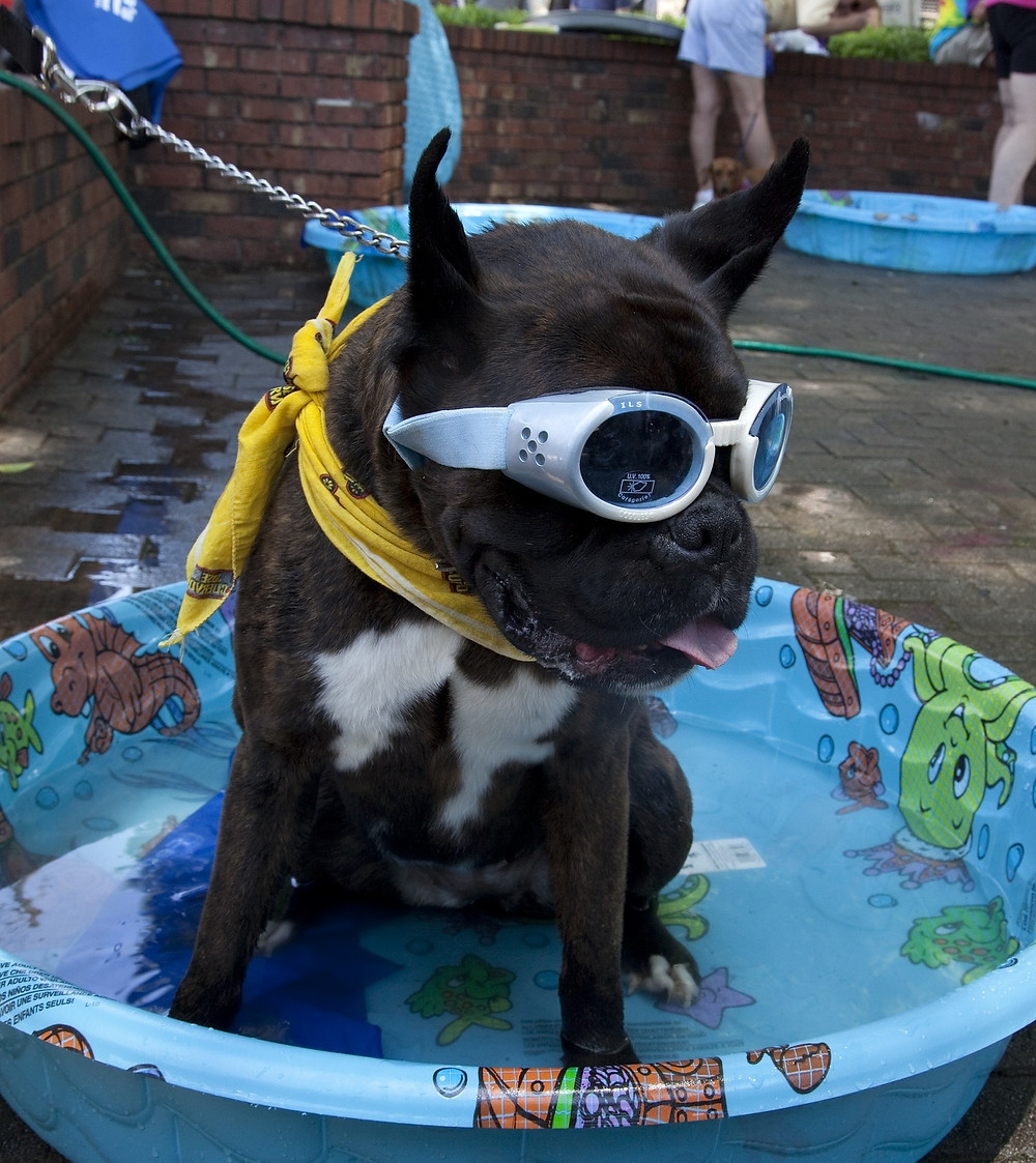 Keep Cool in the Pool- Dog with googles