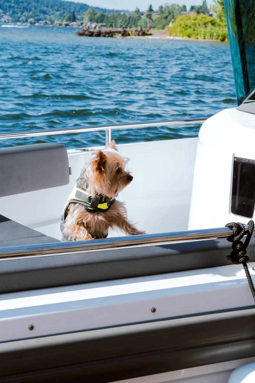 Little Yorkie on boat