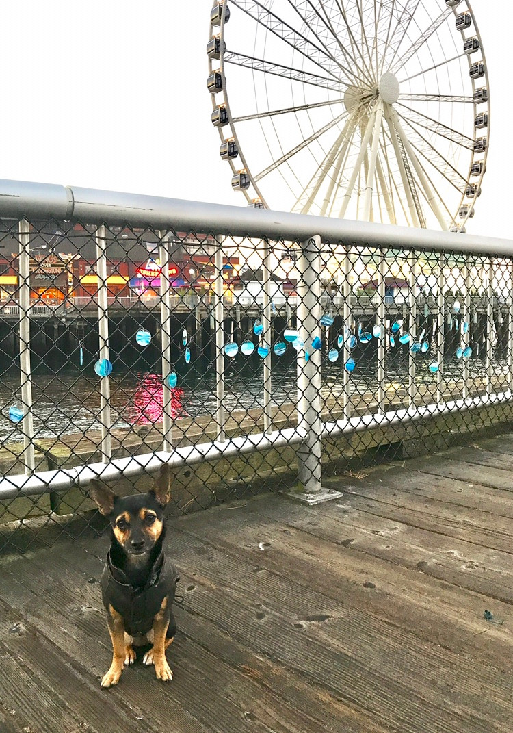 Chihuahua Mix, Lincoln, in Ferris Wheel in Seattle