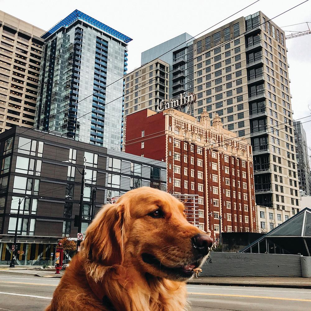 Sinatra, Golden Retriever, Downtown Seattle
