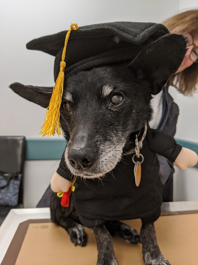 Small black dog on table, has aging eyes and graying muzzel, wearing graduation gown and hat.