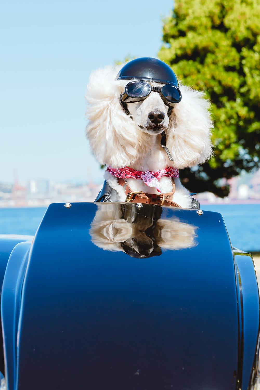 Brox. Standard Poodle in Motorcycle Sidecar