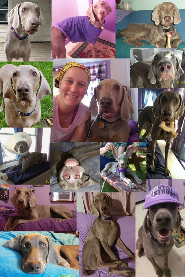 Weimaraner, Skye Photo collage