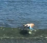 Corgi in water swimming