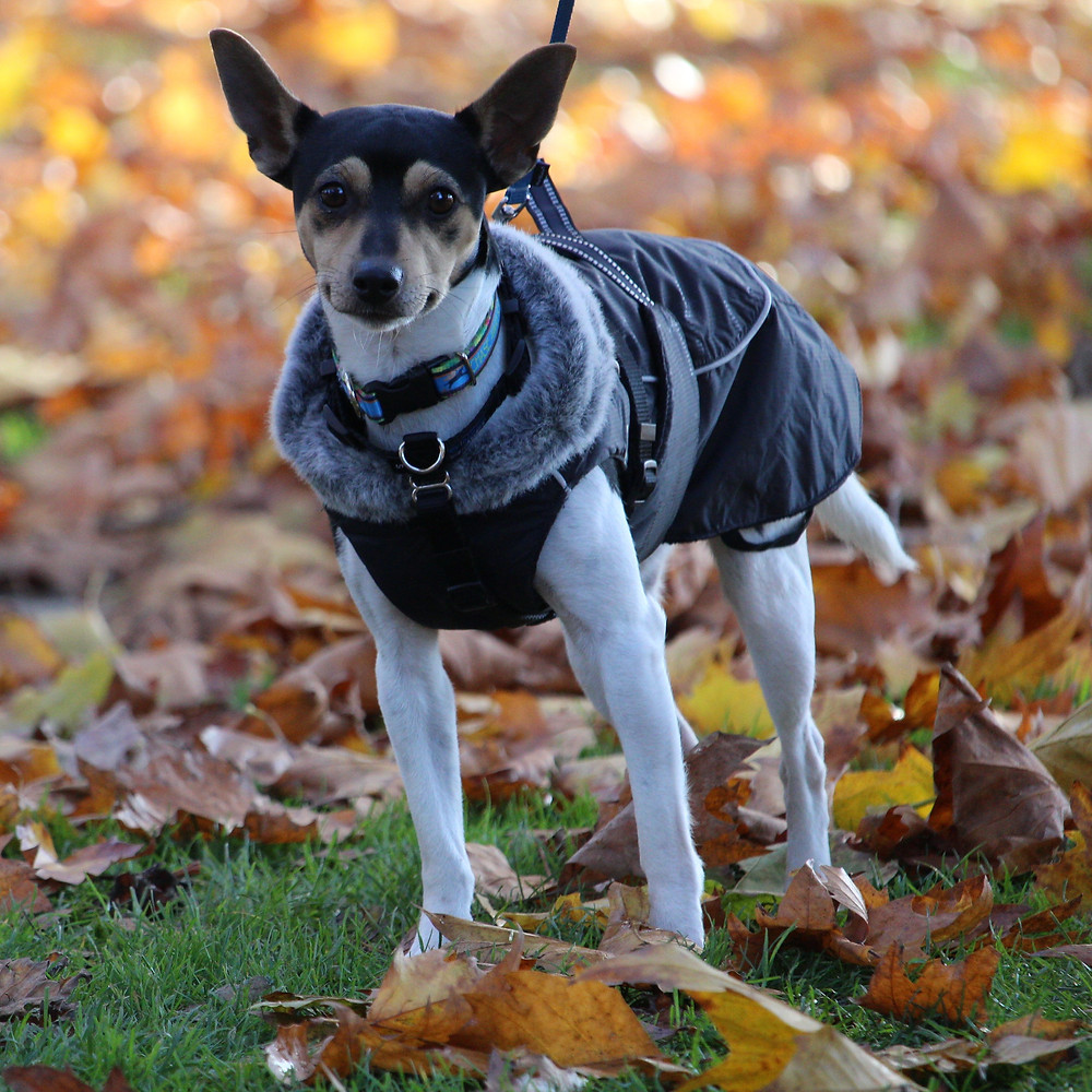 Jack Russel Terrier mix in winter coat with leaves