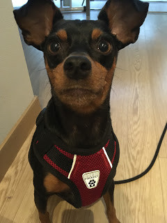 Min Pin with red harness