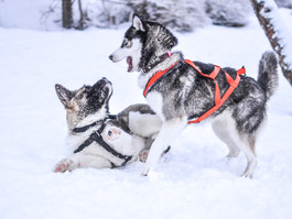 Seattle Pup: Where to Ski with Fido!