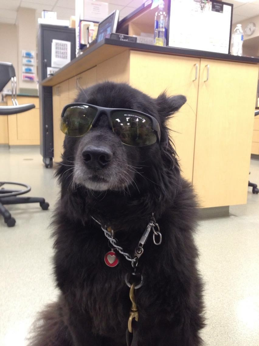 sitting black dog with sunglasses on in vet office