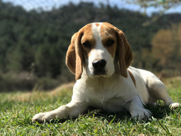 Seattle Pup Kids Camp Songs: I'm Bringing Home a.... Beagle Puppy!