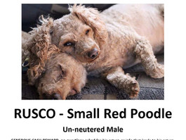 Lost Pup! Rusco is missing! Red Poodle