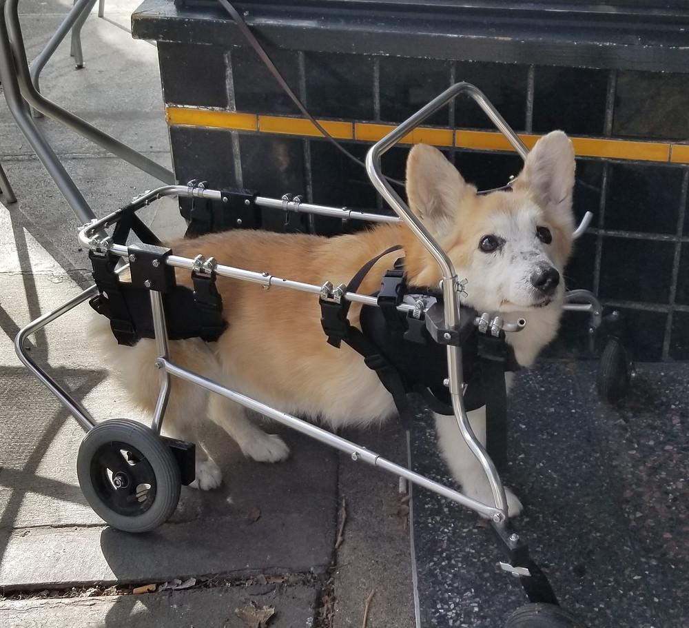 Corgi in wheeled cart. Sweet Boy Troy