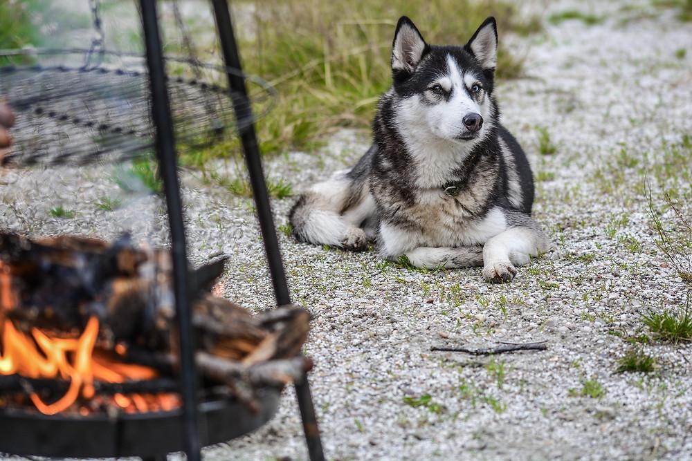 Husky at campfire