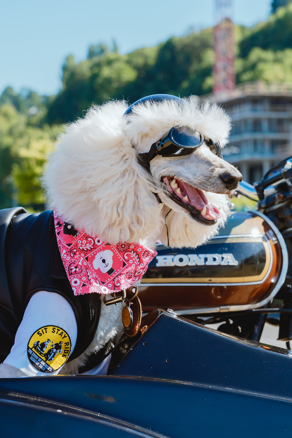 Standard Poodle with goggles and helmet near motorcycle