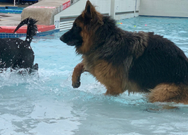 """Attention WATER DOGS! Small and Big Dogs Welcome at """"Paws in the Pool"""" Edmonds, WA"""