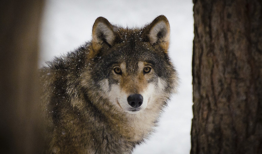 Wolf looking at camera in winter