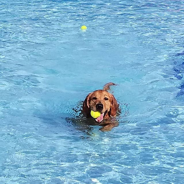 Golden Retreiver in sky blue pool with ball in her mouth--she is smiling!